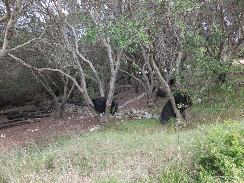 Olivenhain Hinterland von Korfu