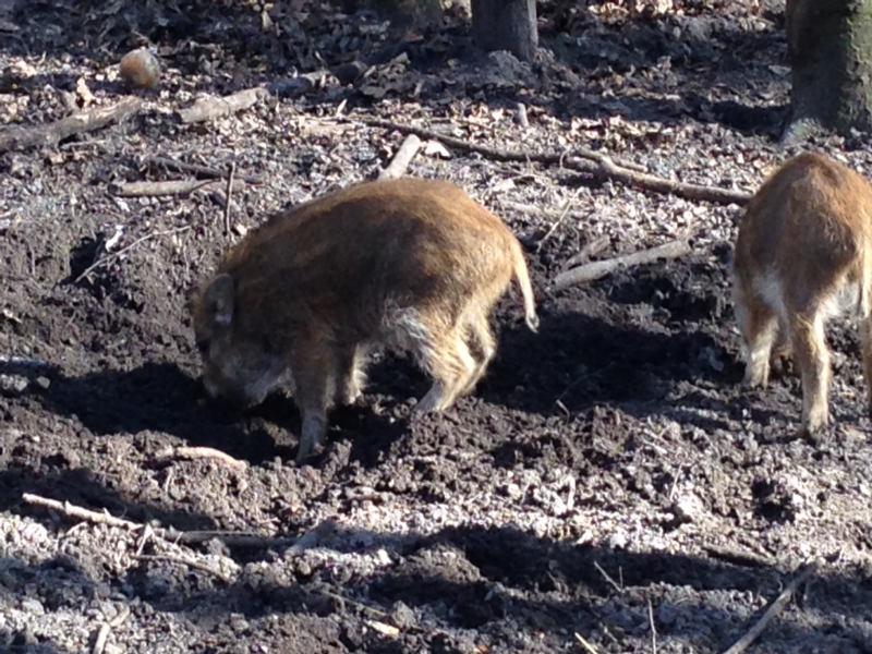 Volkspark Jungfernheide Wildgehege - Wildschweine