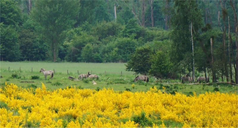Konik Pferde in der Döberitzer Heide