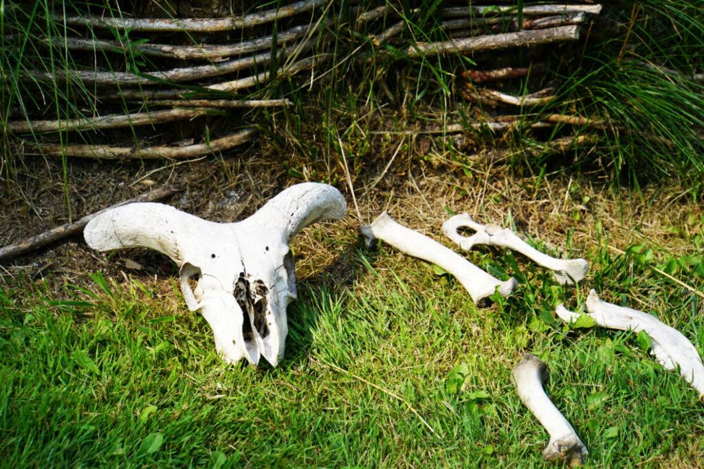 Tierknochen im Opfermoor