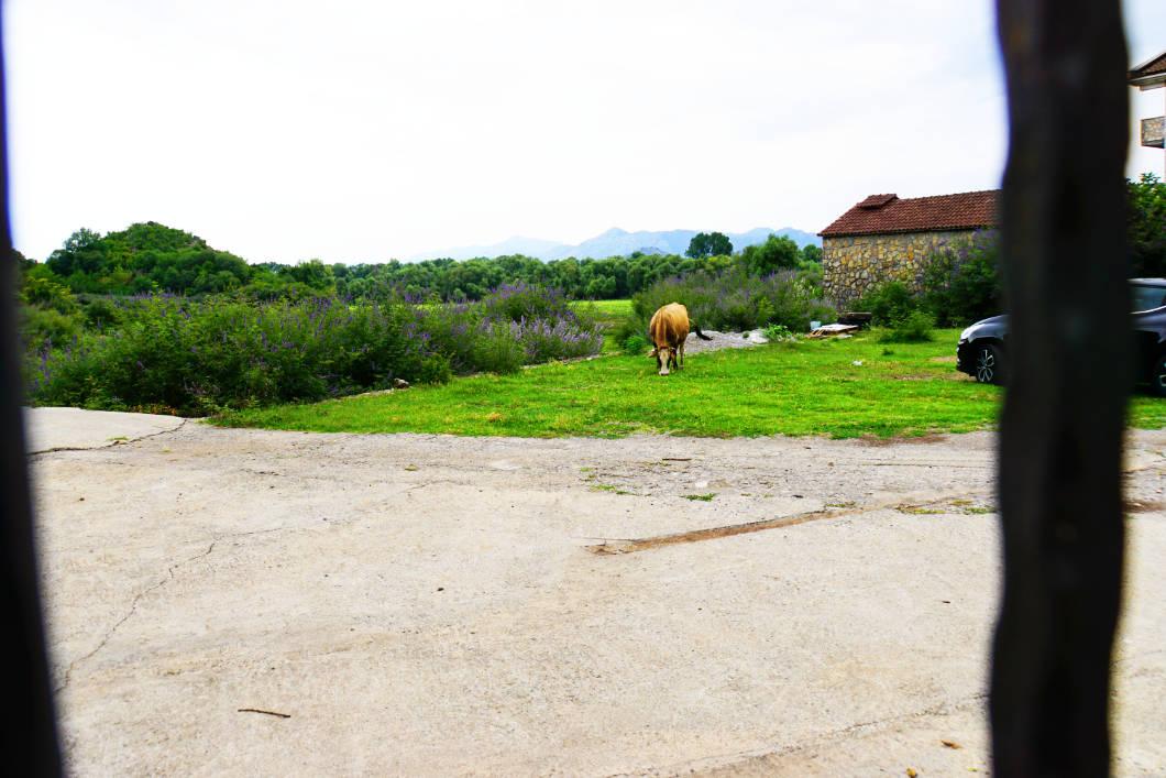 Dodoši - Treffen mit der Kuh