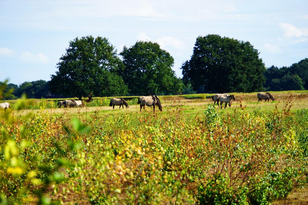 Wildpferde in Groningen