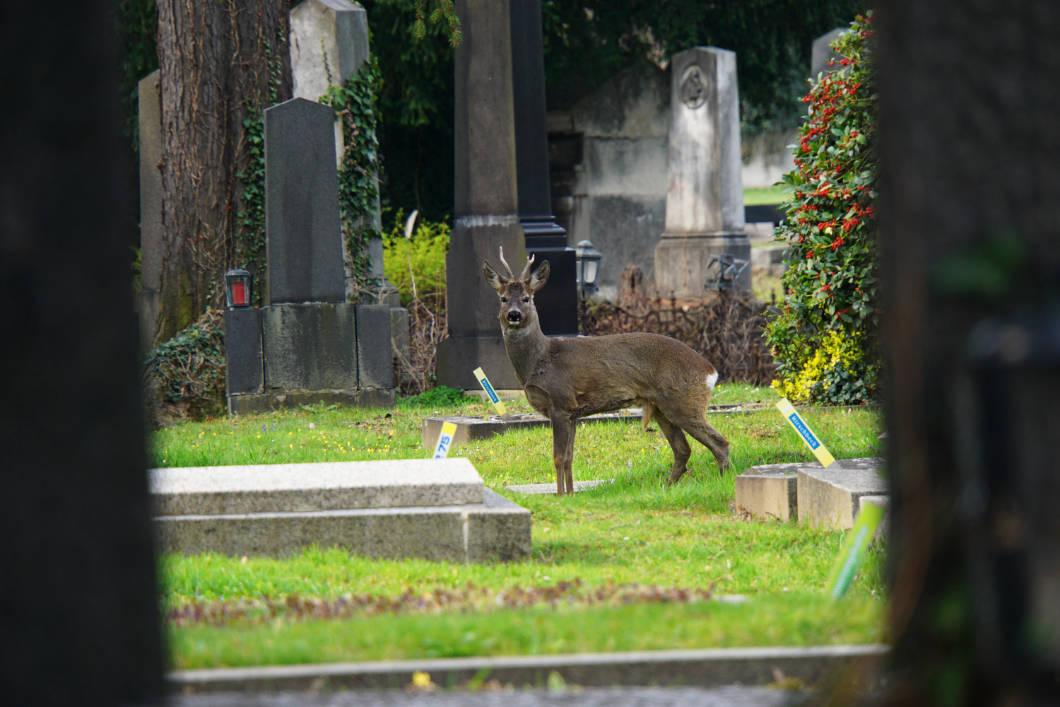 Rehe auf dem Friedhof in Wien