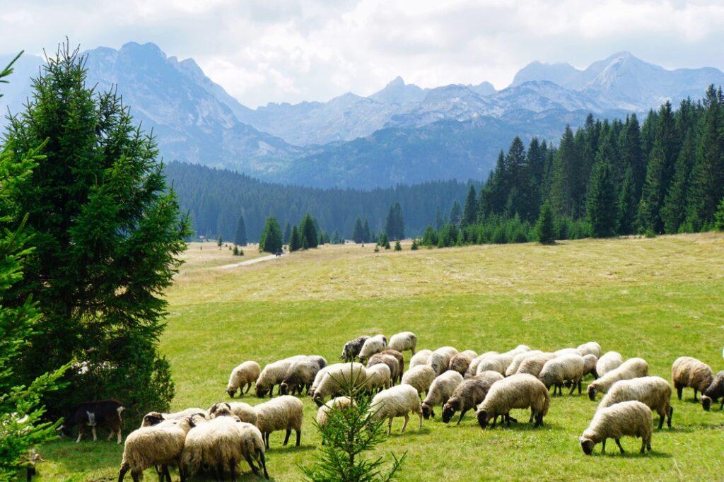 Schafherde vor den Bergen in Montenegro