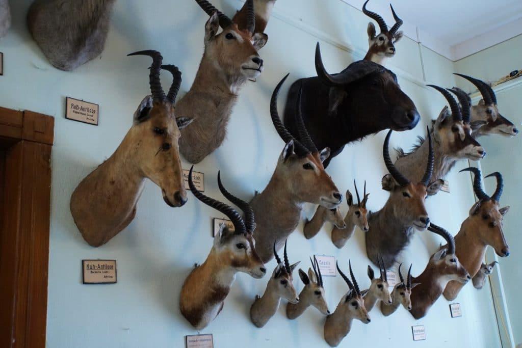 Jagdtrophäen im Museum