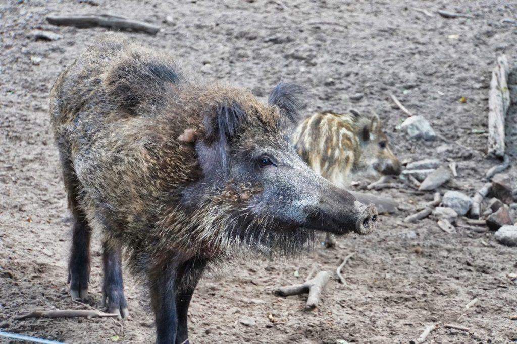 Wildschwein tegeler Forst