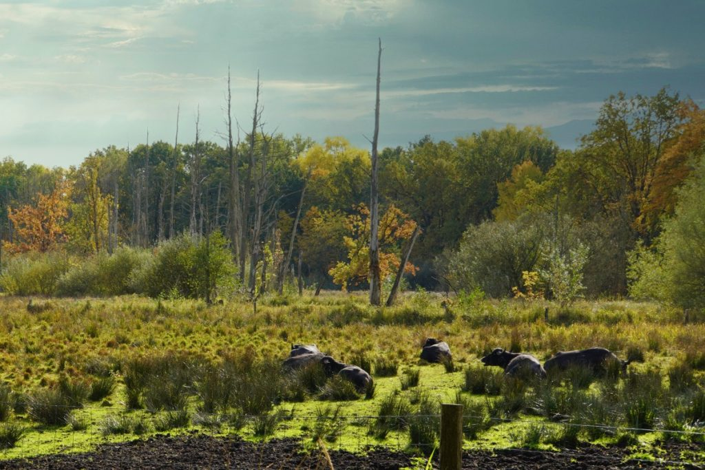 Wasserbüffel und Totholzbäume