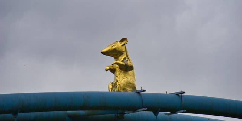 Ratte auf der Brücke in Hameln